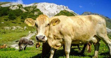 সুইজারল্যান্ডে নিরাপত্তার যুক্তিতে কৃষকরা গরু-ছাগলের শিং কেটে দেয়